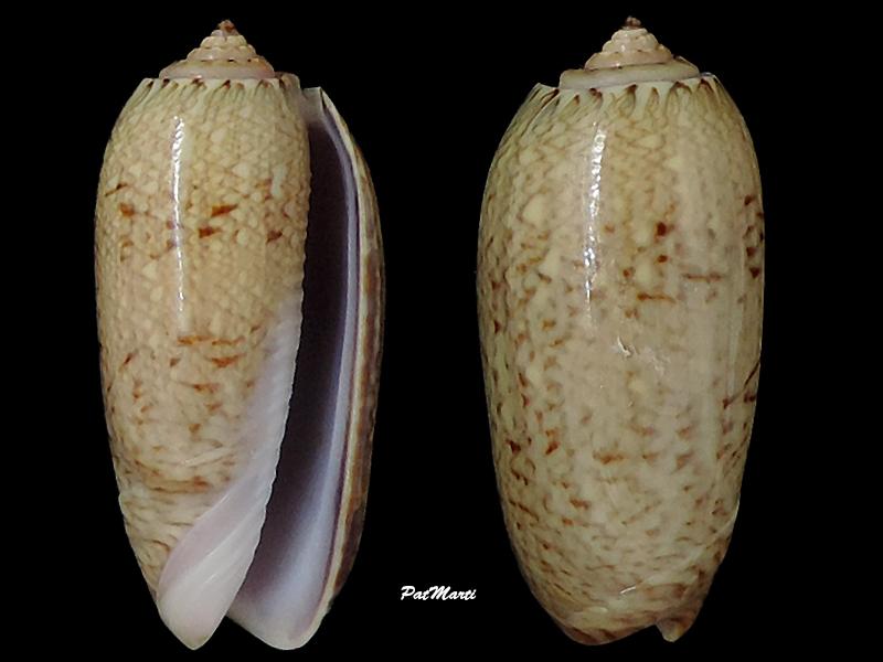 Cariboliva scripta venezuelana (Petuch & Sargent, 1986) - Worms = Oliva scripta Lamarck, 1811 Olivid10