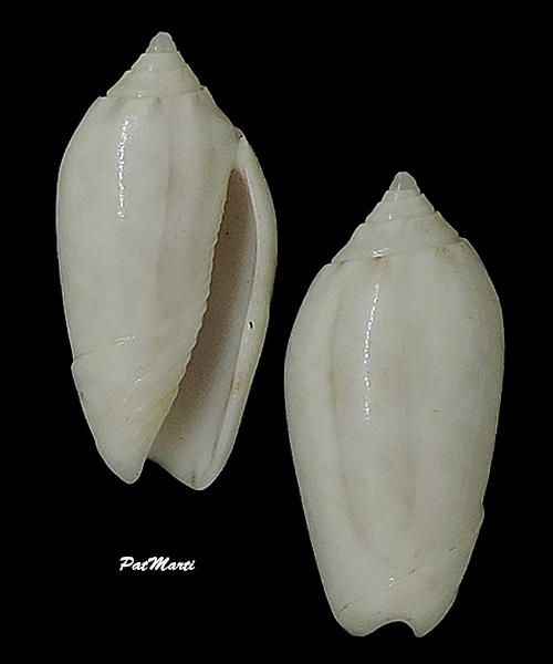 Americoliva spicata hemphilli (Ford in Johnson, 1915)  - Worms = Oliva spicata (Röding, 1798) Olivid11