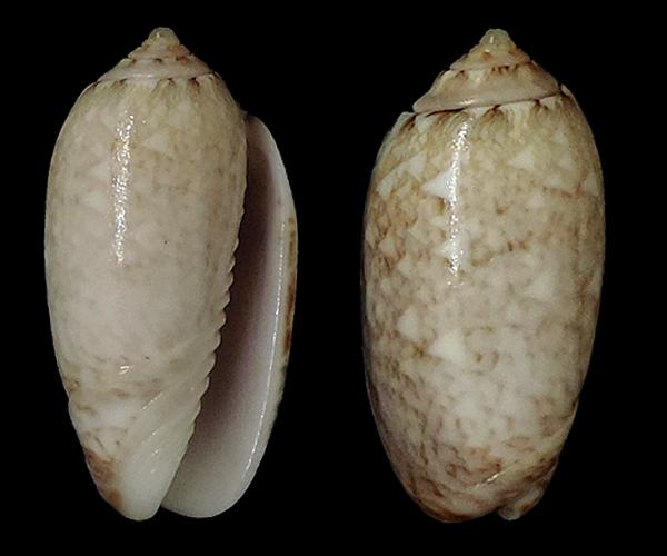 Americoliva jamaicensis zombia (Petuch & Sargent, 1986)  - Worms = Oliva jamaicensis Marrat, 1867 Olivid12