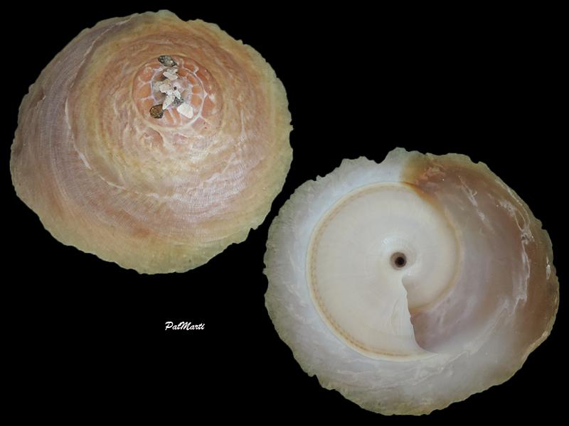 Onustus indicus - (Gmelin, 1791) Onustu10