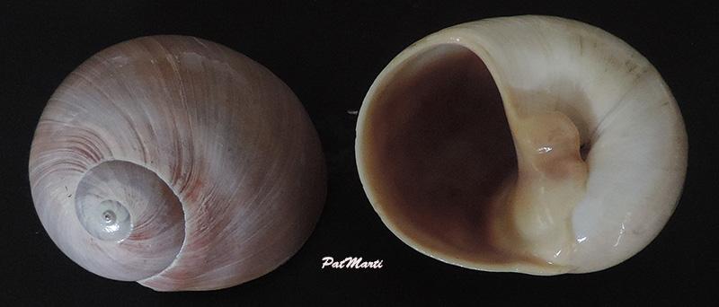 Neverita didyma - (Röding, 1798) Polini10