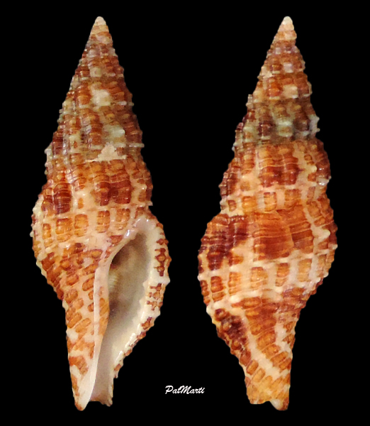 Pisaniidae Prodotia lannumi - (Schwengel, 1950)  Prodot10