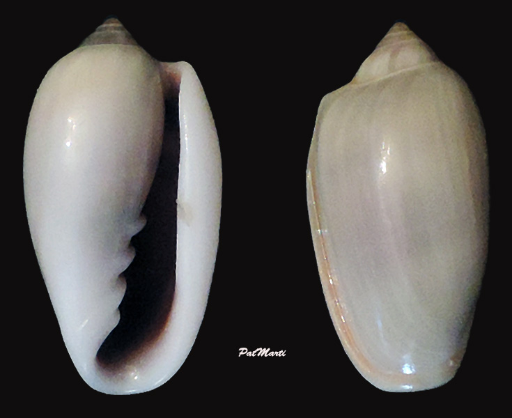 Prunum prunum - (Gmelin, 1791) Prunum10