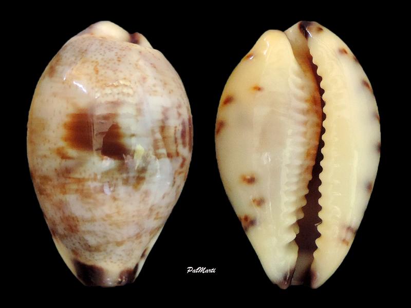 Purpuradusta gracilis gracilis - (Gaskoin, 1849) Purpur10