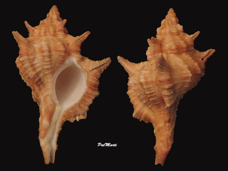 Siratus springeri - (Bullis, 1964)  Siratu10