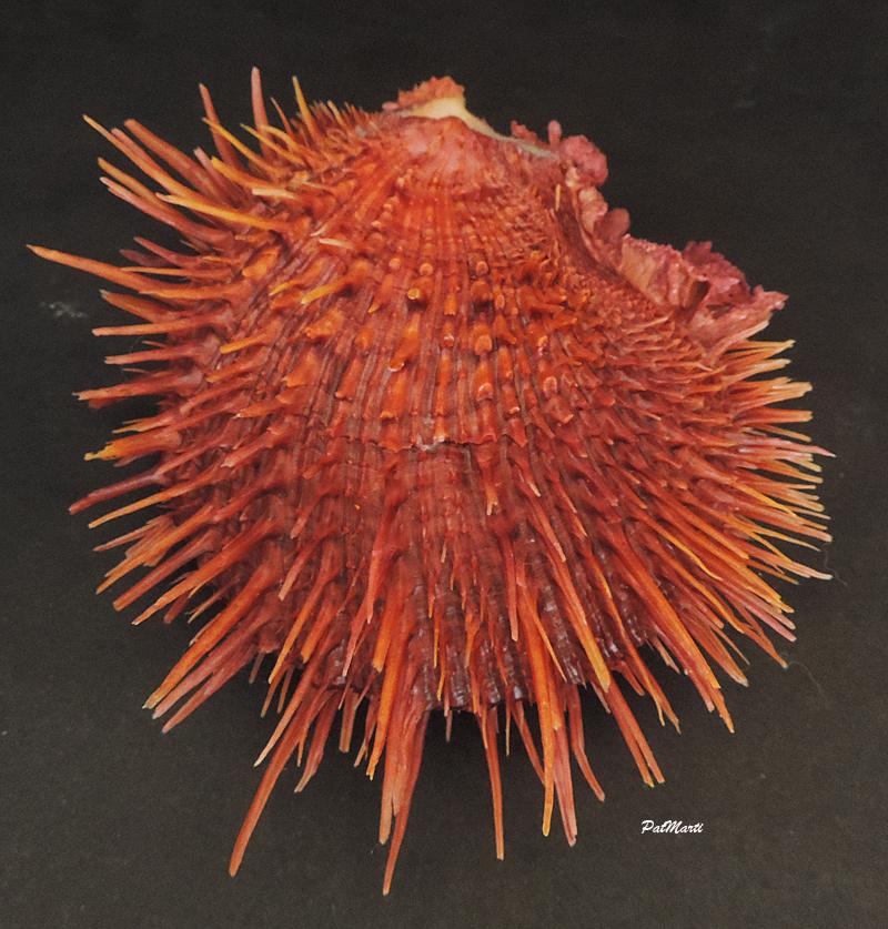 Spondylus visayensis - Poppe & Tagaro, 2010 Spondy10