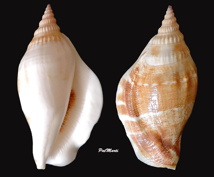 Dolomena swainsoni - (Reeve, 1850) Stromb10