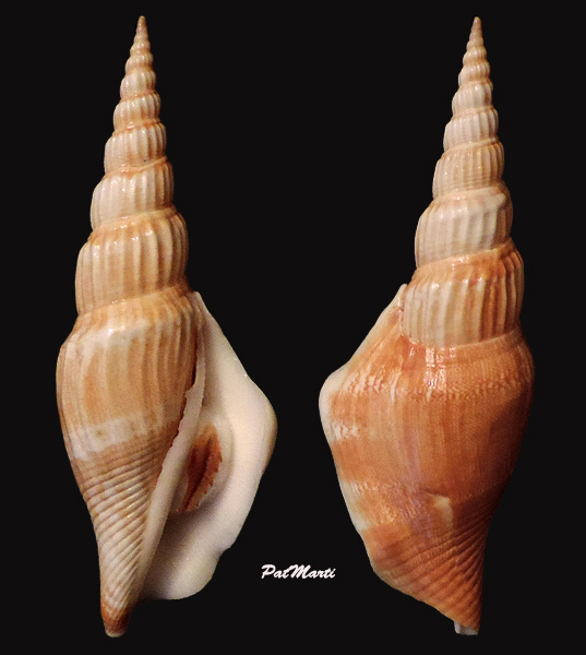 Doxander vittatus apicatus - (Man in 't Veld & Visser, 1993) voir Doxander vittatus (Man in 't Veld & Visser, 1993) Stromb12