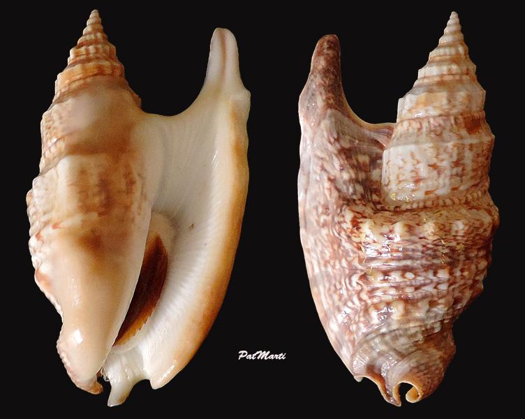 Euprotomus iredalei - (Abbott, 1960)  Stromb14