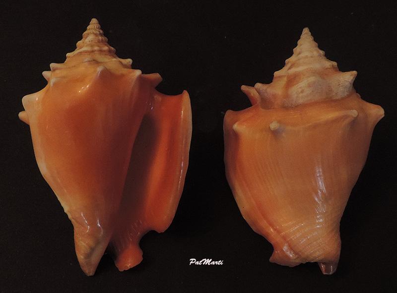 Strombus pugilis worki - Petuch, 1993 Stromb17