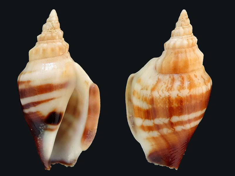 Dolomena variabilis - (Swainson, 1820) Stromb18