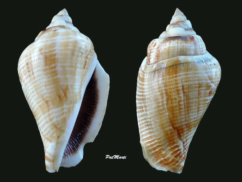 Gibberulus gibberulus gibbosus - (Röding, 1798) - Page 2 Stromb22