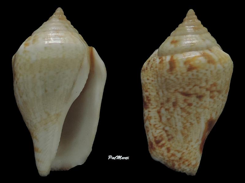 Strombidae Maculastrombus depauperatus (Dautzenberg & Bouge, 1933) Stromb27
