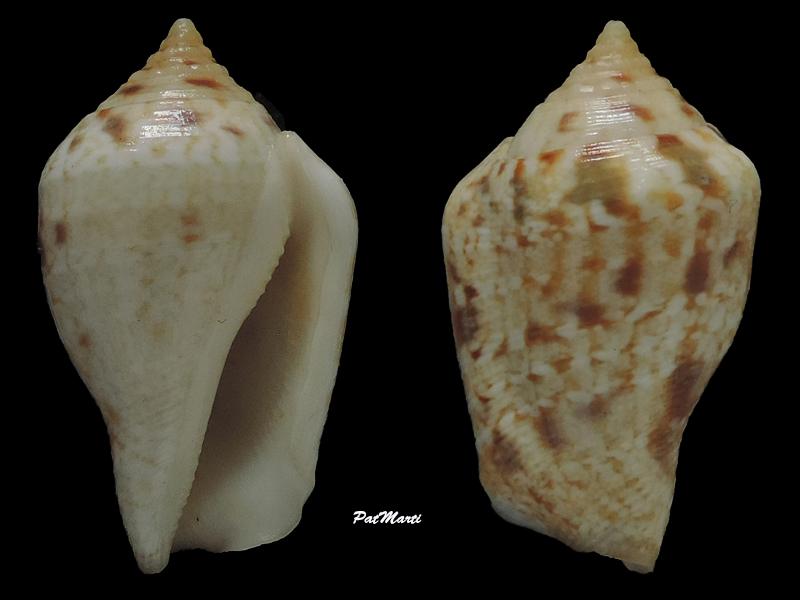 Strombidae Maculastrombus depauperatus (Dautzenberg & Bouge, 1933) Stromb28