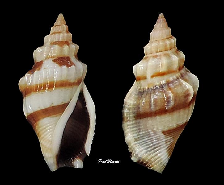 Canarium elegans - (G. B. Sowerby II, 1842) Stromb32