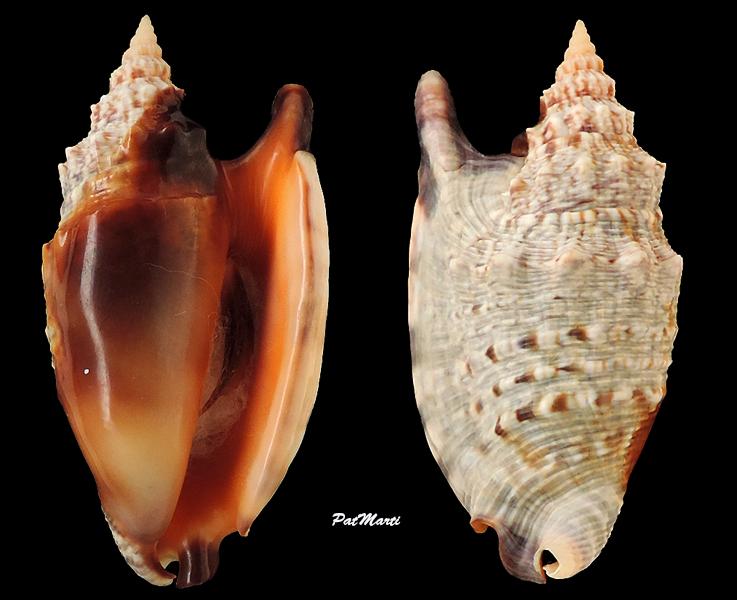 Euprotomus aratrum melanostomus - (Sowerby, 1825) Stromb33