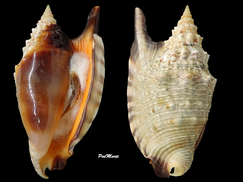 Euprotomus aratrum melanostomus - (Sowerby, 1825) Stromb34