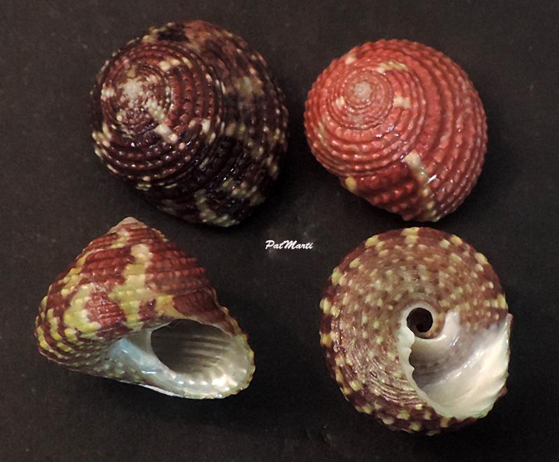 Tegula viridula - (Gmelin, 1791)  Tegula11