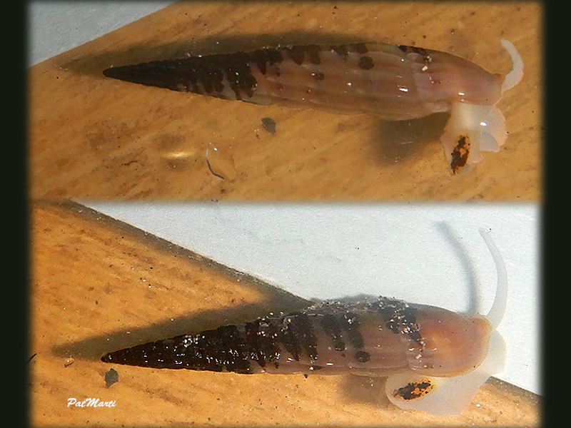 Punctoterebra nitida (Hinds, 1844) Terebr17