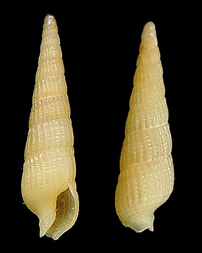 Neoterebra  protexta (Conrad, 1846)  Terebr28