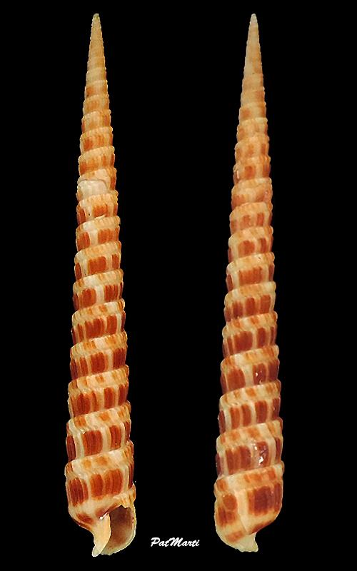 Terebra pretiosa - Reeve, 1842 Terebr42