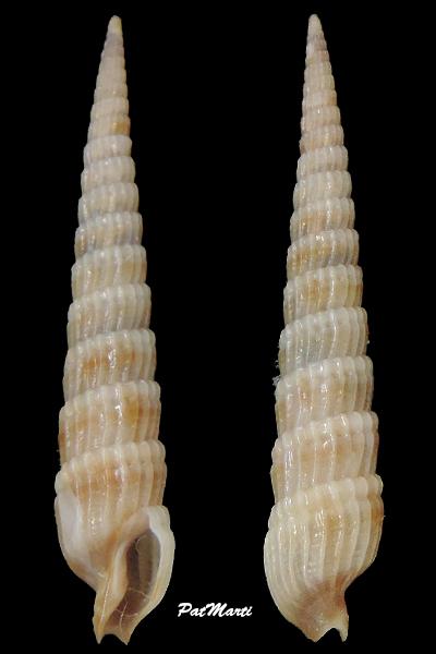 Punctoterebra turrita - (E. A. Smith, 1873) Terebr73