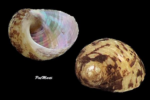 Stomatolina mariei - (Crosse, 1871) Trochi12
