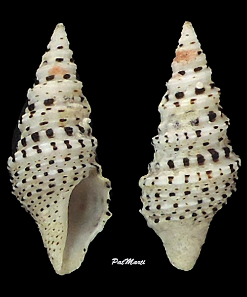 Lophiotoma abbreviata abbreviata - (Reeve, 1843) Turrid13