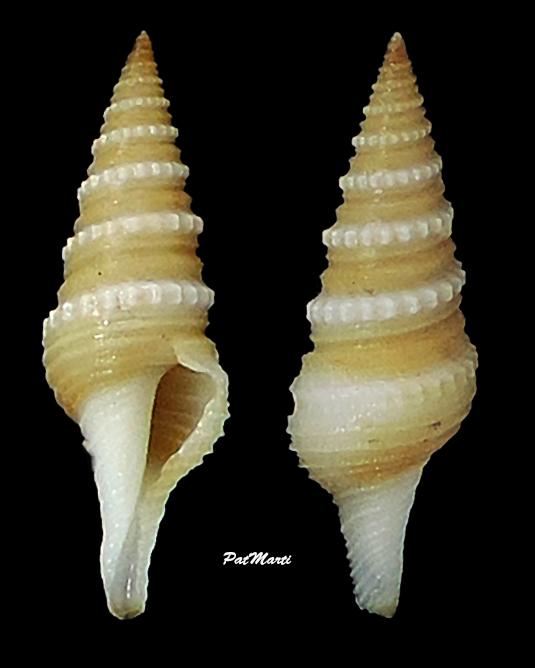 Gemmula monilifera - (Pease, 1860) Turrid15