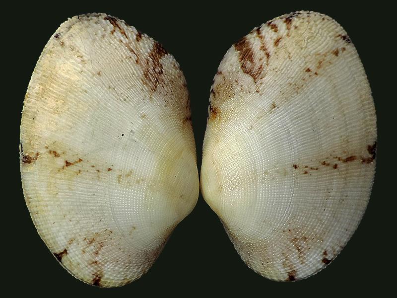 Ruditapes decussatus - (Linnaeus, 1758) Veneri12