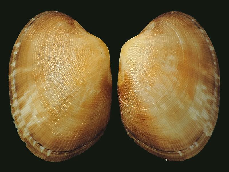 Ruditapes decussatus - (Linnaeus, 1758) Veneri13