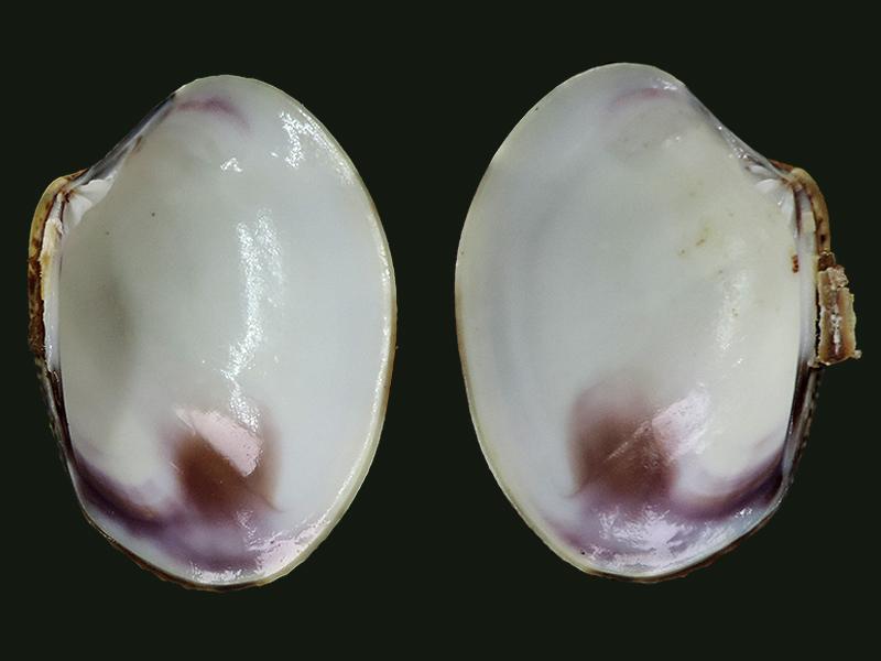 Ruditapes philippinarum - (Adams & Reeve, 1850) Veneri15