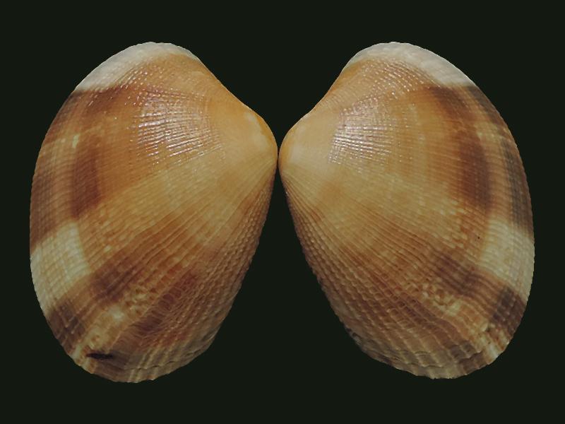 Ruditapes philippinarum - (Adams & Reeve, 1850) Veneri16