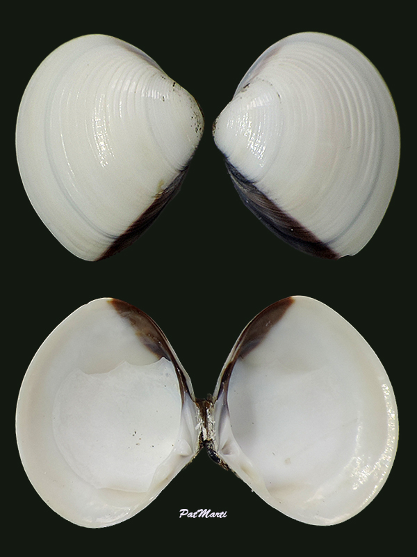 Meretrix lyrata - (G. B. Sowerby II, 1851)  Veneri17