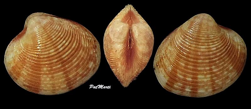 Lioconcha philippinarum - (Hanley, 1844)  Veneri22