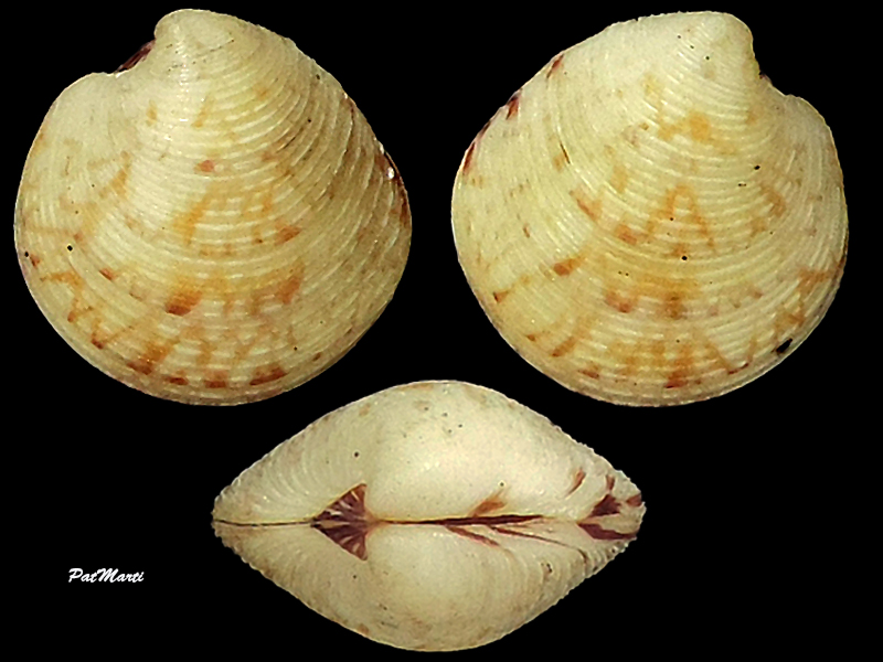 Globivenus toreuma - (Gould, 1850)  Veneri23