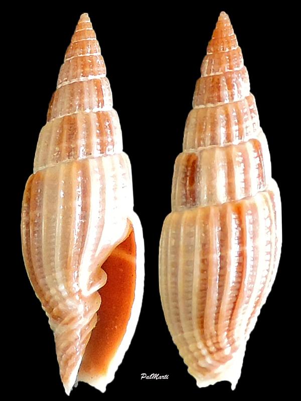 Vexillum acuminatum - (Gmelin, 1791) Vexill10