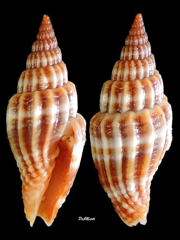 Vexillum suluense - (A. Adams & Reeve, 1850)  Vexill11