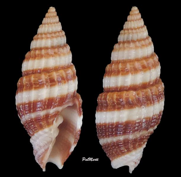 Vexillum amandum - (Reeve, 1845) Vexill12