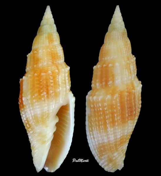 Vexillum poppei - Guillot de Suduiraut, 2007  Vexill14