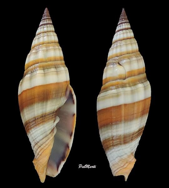 Vexillum caffrum - (Linnaeus, 1758)  Vexill16