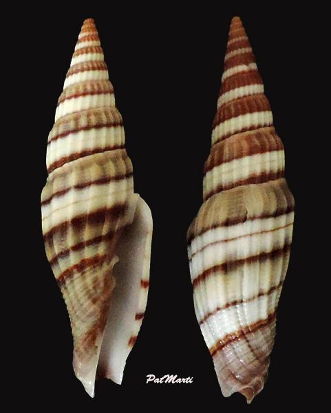 Vexillum melongena - (Lamarck, 1811) Vexill17