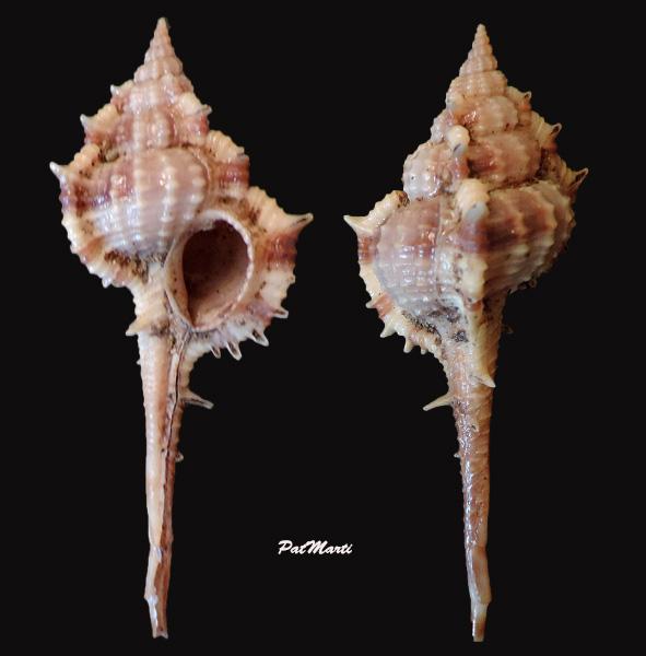Vokesimurex multiplicatus bantamensis - (Martin, 1895) Vokesi10