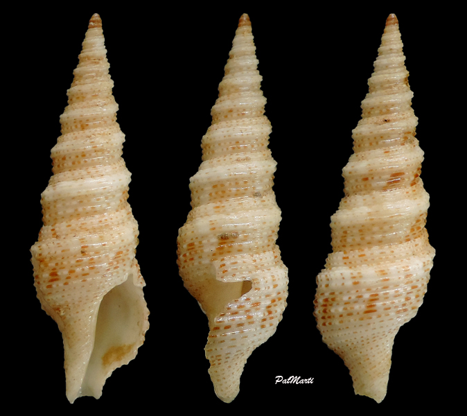 Xenuroturris millepunctata - (G. B. Sowerby III, 1909)  Xenotu10