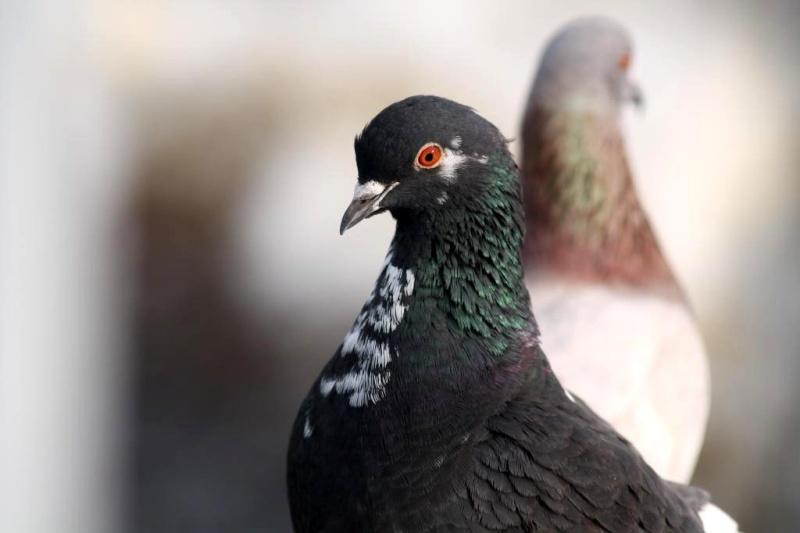 Pigeon Img_1210