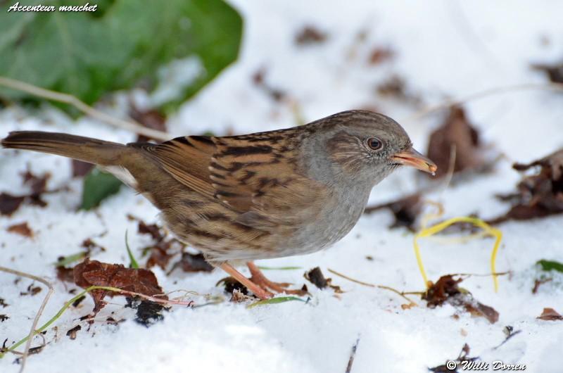 les èspèces d'oiseaux que j'ai eux cet hiver 2012-2013 Dpp_oi16