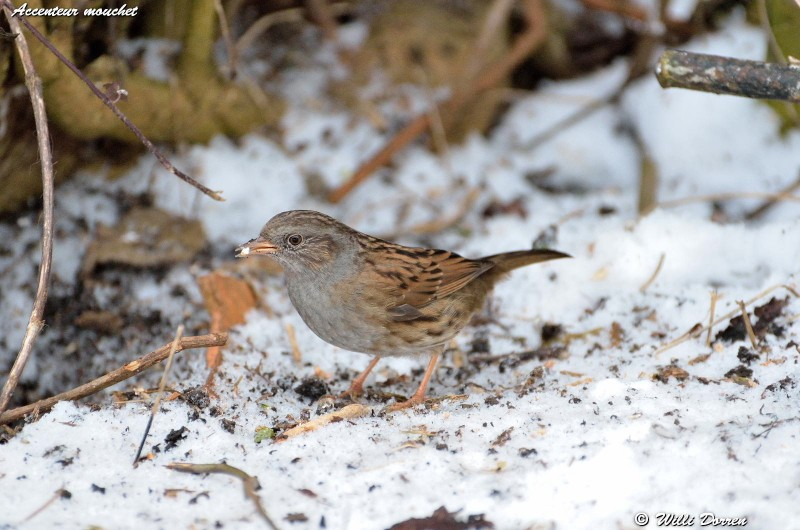 les èspèces d'oiseaux que j'ai eux cet hiver 2012-2013 Dpp_oi17