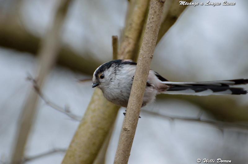 les èspèces d'oiseaux que j'ai eux cet hiver 2012-2013 Dpp_oi18