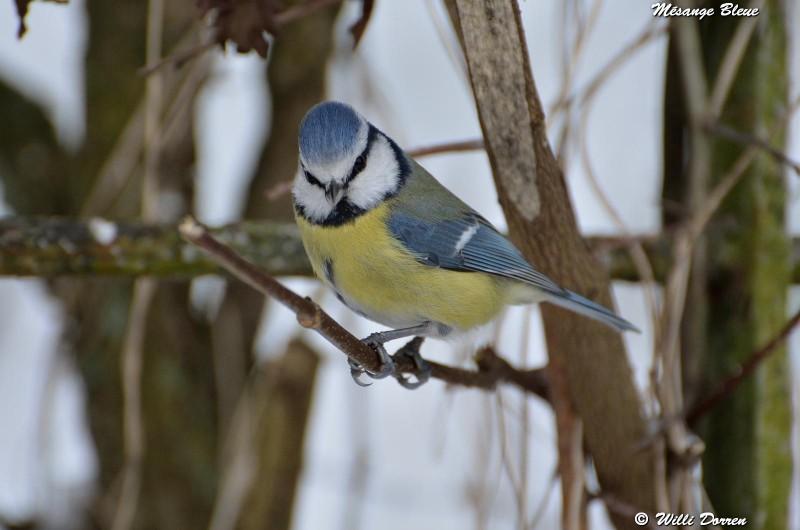 les èspèces d'oiseaux que j'ai eux cet hiver 2012-2013 Dpp_oi19