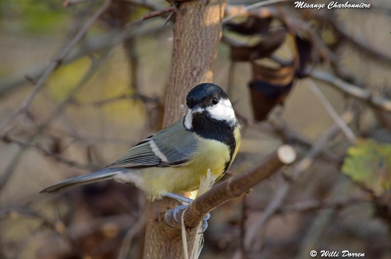 les èspèces d'oiseaux que j'ai eux cet hiver 2012-2013 Dpp_oi20